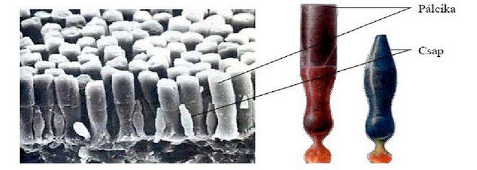 Pálcikák és csapok a retinán elektronmikroszkópos felvételen (Forrás: : www.cogsci.bme.hu)
