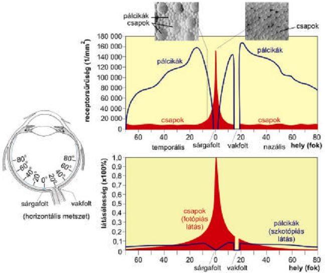 A receptorok és a látásélesség eloszlása a retinán (Forrás: A szem optikája – Orvosi Fizikai Gyakorlatok)